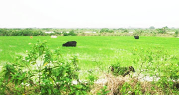 Cows from the Abary Creek foraging in a rice field yesterday.