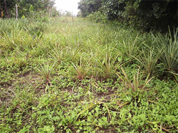 Yellowing pineapple plants that were affected by floodwaters in Narsingh's farm at canal Number Two.