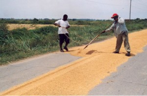 Breaking the credit cycle: Farmers drying paddy on the roadway.
