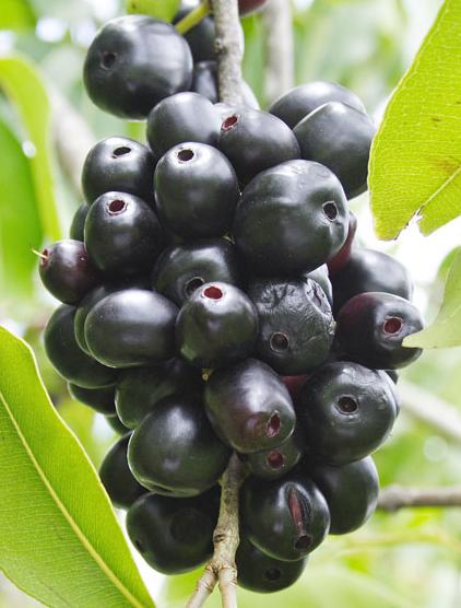 It S Purple It S Grape Like It S Jamun Stabroek News
