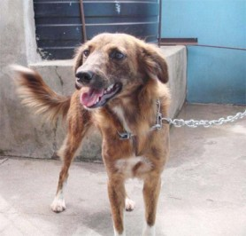 This eager-looking female is ready to become a lively family pet or companion. She has been spayed and is at GSPCA's Animal Clinic and Shelter at Robb Street and Orange Walk awaiting a permanent home.