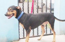 This eager-looking fellow is at the GSPCA Shelter and Clinic at Robb Street and Orange Walk awaiting adoption. He has been neutered.
