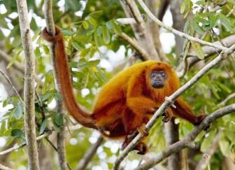Monkey, red howler