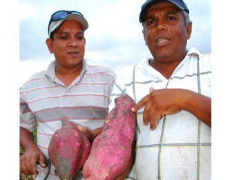 Farmer Mahendra Singh (r) showing a 15-pound sweet potato while worker Anand Persaud looks on while holding a smaller one.