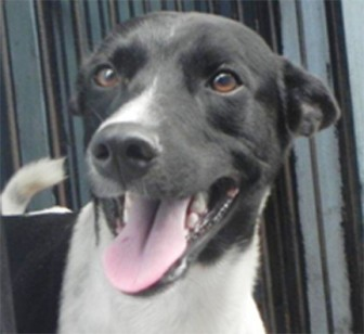 A cheerful male dog at the GSPCA is optimistic that he will be offered a good home (He has been neutered.)