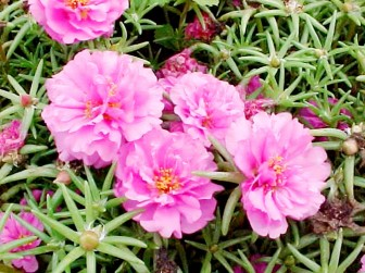 20120923pink flowers