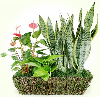 Sansevieria with other plants