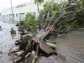 A tree down in Jamaica yesterday (Jamaica Gleaner photo)