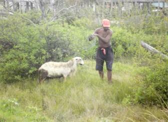Caesar Doris untying his sheep
