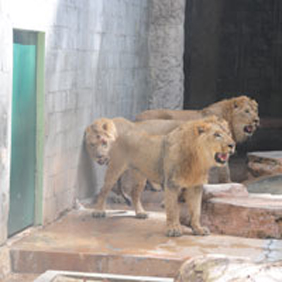 Three young lions, the newest additions to the Emperor Valley Zoo, in an enclosure at the facility last Friday. (Trinidad Express photo)