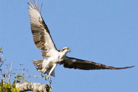 An Osprey taking off to scout for fish. (Photo by Graham Watkins)