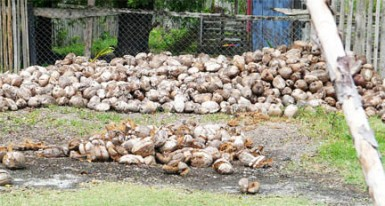 Dried coconuts in Seeranie Chan's yard