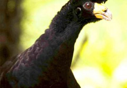 Black Curassow (Photo by Graham Watkins)