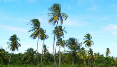 Beautiful coconut trees