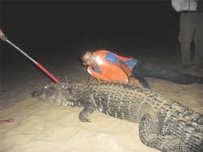 Fearless: The writer gets up close to the 11 foot, four inches black caiman.