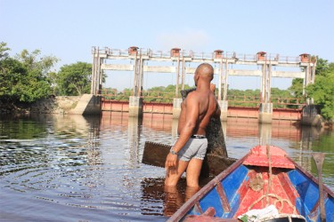 Richardo Harris shows parts of the wooden paaling that was used to shore up the banks of Torani Canal head but which has since become dislodged. (Arian Browne photo)