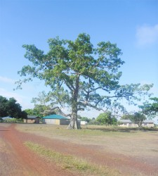 A huge tree in the middle of Nappi.