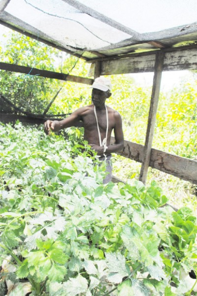 Fitzroy Valentine tending his hydroponically grown celery at his Friendship farm.