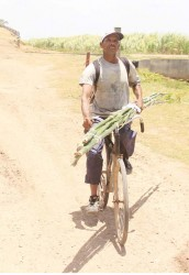 Cane cutter riding out of the Leonora Sugar Estate