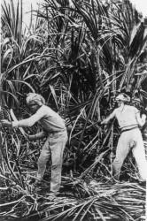 Cutting the canes circa 1890