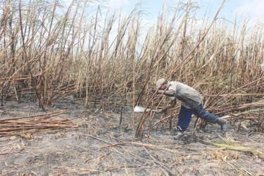 Modern-day sugar worker cutting cane at Enmore