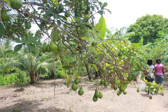Abundance: A laden avocado tree on a farm at Barnwell, Mocha, East Bank Demerara (Photo by Arian Browne)