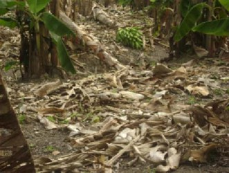 Plantain stalks that fell to the ground on this farm at Tuschen after they became affected with the Black Sigatoka disease. (Stabroek News file photo)