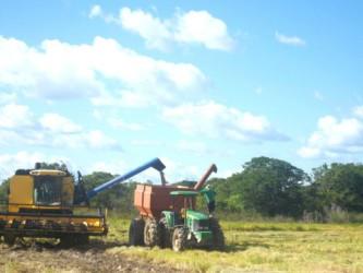 Paddy harvesting at the Santa Fe farm (GINA photo)