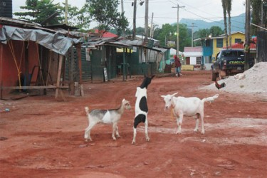 Dance of the goats at Mahdia