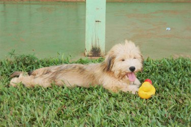 Doggy fun: A dog playing with his rubber duck at Campbelltown.