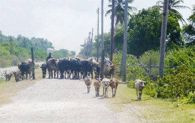 A farmer returning from the backdam with his ruminants
