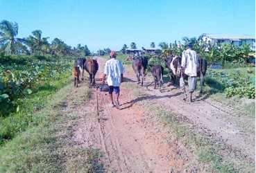 Walking the cows home