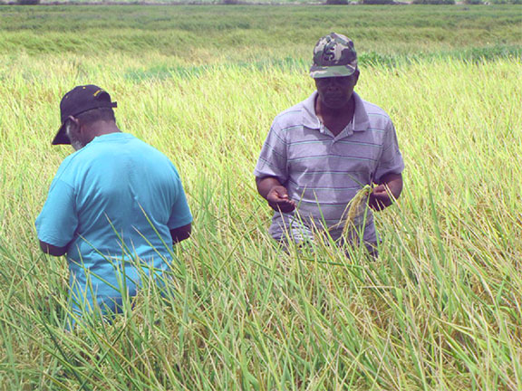 Rice farmers inspecting paddy in a field (GINA photo)