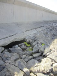 The grouted boulder façade along the Coldingen to Melanie Damishana area has multiple breaks throughout. However Stabroek News was told that because of the mud build up, the area was actually doing very well in terms of weathering damage.
