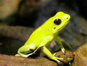 A photo of Phyllobates terribilis, the tiny, endangered golden poison frog accompanies National Geographic Traveler's report on Guyana