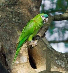 Red-shouldered macaw  (Diopsittaca nobilis) in the Botanical Gardens, Georgetown (Photo by Kester Clarke)