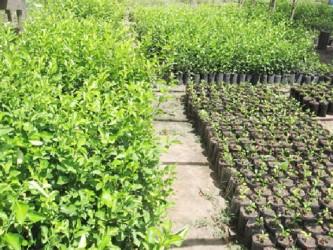 Tacama citrus nursery