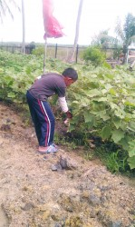 A young boy picking boulanger in his garden
