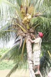 Picking water coconuts