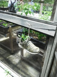 An old sneaker used to grow vegetables