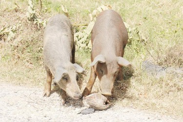 Pigs playing with a coconut shell