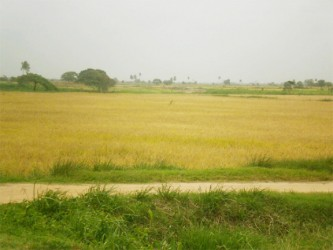 A rice field in the village