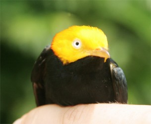 Male Golden-Headed Manakin (Photo by Jake Bicknell)