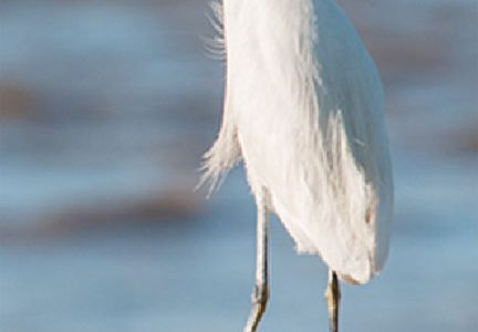 Snowy Egret (Photo by Andrew M Snyder)