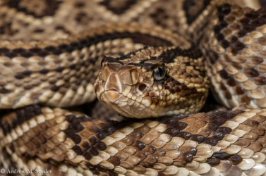 Rupununi Rattlesnake (Photo by Andrew Snyder)