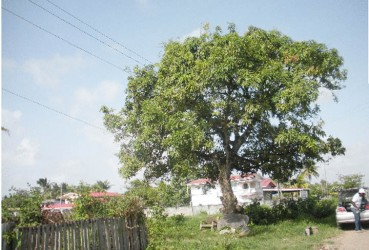 The mango tree that separates Philadelphia from Barnwell