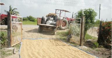 Paddy drying in the sun in Bhiju Jaikaran's yard