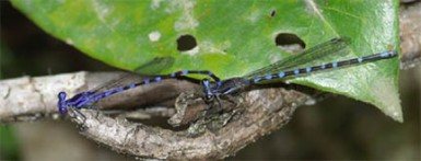 One of two species of argia dragonfly most likely new to science