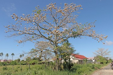 This tree at Beterverwagting, ECD is ripe for the picking.