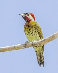 A male Spot-breasted woodpecker (Colaptes punctipectus) perched along the Abary river trail, Mahaica-Berbice.